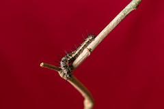 _MG_0091 (irukza) Tags: gusano insecto naturaleza oruga
