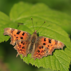 Fragile (microwyred) Tags: comma wildlife closeup macro events butterfly animalwing