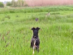 Buddylein und die Kanadagans (BrigitteE1) Tags: buddyleinunddiekanadagans buddy buddylein mrb hund dog gans goose kanadagans canadiangoose wiese meadow snapshot bestfriend yorkshireterrier