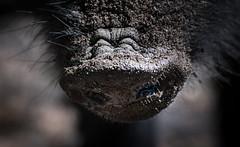 smells like (johndifool) Tags: 7dwf nose nase pig wildschwein riechen smells fauna