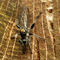 Robberfly on a log