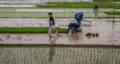 Vietnam ( Philippe L PhotoGraphy ) Tags: asiedusudest asie vietnam thịxãchílinh bắcninh vn rizières riz saigon hanoi hue danang halong mékong chaudoc baie hochiminh hoian