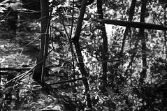 Étang/Pond (bob august) Tags: 2017 2017©rpd'aoust ahuntsic arbres bw blackwhite boisé boisésaintsulpice canada d90 étang feuilles juin june leafs lumièredumatin montréal morninglights nikkor18300mm nikon nikond90 noiretblanc parc park pond printemps spring trees montréal québec