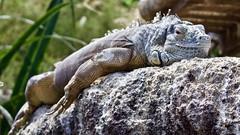 Lazy Lizard (@WineAlchemy1) Tags: lizard reptile iguana sunbathing basking lazy valència spain oceanogràfic