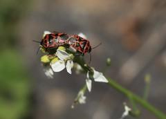 gendarmes (bulbocode909) Tags: insectes punaises gendarmes nature printemps fleurs vert rouge valais suisse