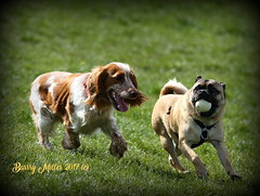 Catch me if you can (Barry Miller _ Bazz) Tags: dog animal fun widnes victoria park ball chasing canon 5d mark3 300mm f4l game