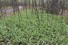 White Trout Lilies