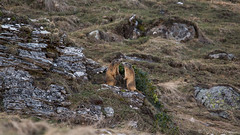 Marmottes / Groundhogs (Nicolas Rouffiac) Tags: marmot marmots marmotte marmottes animal animals animaux nature mignon cute