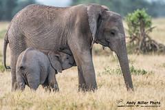20160217-07-24-47_C018413 2000px (ajm057) Tags: 8takenusing africa africanelephantloxodontaafricana africanbushelephantloxodontaafricana amboselinationalpark andymillerphotolondonuk elephantidaeelephants kenya loxodonta mammal nikonafs600mmf4gvrii nikond810 proboscideaelephants reservesparks wildlifephotography kajiado ke african elephant