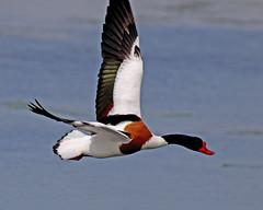 Shelduck - Tadorna tadorna UB2A9088 (paulcoltman) Tags: shelduck tadorna large red beak flying flight inflight