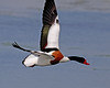 Shelduck - Tadorna tadorna UB2A9088 (paulcoltman) Tags: shelduck tadorna large red beak flying flight inflight