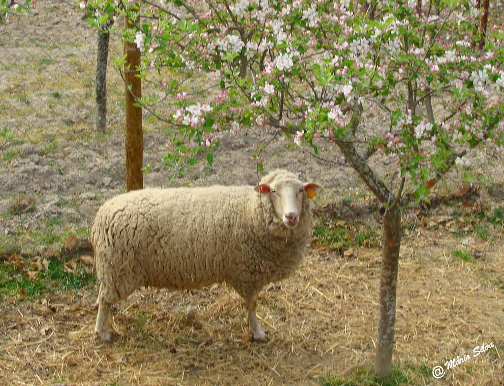 Águas Frias (Chaves) - ... ovelha e a árvore florida ...