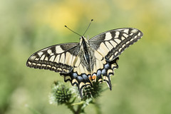 Machaon (fabriciodo2) Tags: butterfly wildlife