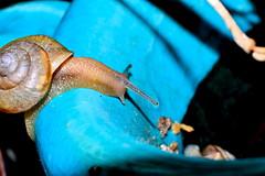 Snail stretching (donjuanmon) Tags: donjuanmon nikon macro sliders slidersunday snail stretch blue hss
