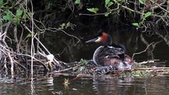 Grèbe huppé et son poussin (dddaviddd46) Tags: grèbe huppé canal nature eau oiseau canon sx60 hs sauvage