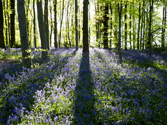 Friday in Bluebell Woods (DaveKav) Tags: bluebell bluebells blue a614 clumberpark nottinghamshire woodland trees woods sherwoodforest