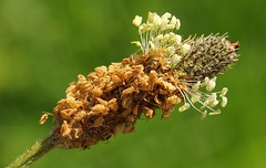 Ribwort Plantain 020517 (1) (Richard Collier - Wildlife and Travel Photography) Tags: naturalhistory macro flora flowersenglishflowers flowers wildflowers ribwortplantain naturethroughthelens