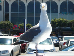 Hurry Up and Take the Picture (Steve Taylor (Photography)) Tags: bird gull seagull portrait building carpark window sunny sunshine usa sanfrancisco posing brazen