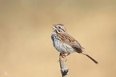 Song sparrow - Bruant chanteur - Melospiza melodia (Maxime Legare-Vezina) Tags: bird oiseau nature wildlife animal canon