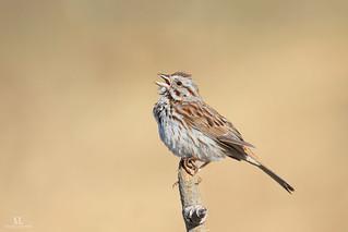 Song sparrow - Bruant chanteur - Melospiza melodia