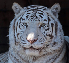 white tiger Ouwehands JN6A9774 (joankok) Tags: tijger tiger whitetiger wittetijger bengaltiger bengaalsetijger kat cat asia azie animal predator ouwehands