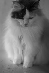 Patches (Katrina Wright) Tags: animals saintsrescue animalsanctuary rescue animalrescue wwwsaintsrescueorg dsc0921 patches cat fluffy bw nb monochrome