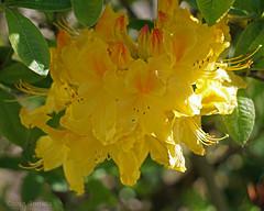Sunny Azalea (♥ Annieta ) Tags: annieta mei 2017 sony a6000 nederland netherlands tuin garden jardin plant azalea geel yellow jaune bloem flower fleur flora macro allrightsreserved usingthispicturewithoutpermissionisillegal coth5
