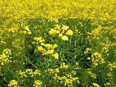 Blumenwiese mit Biene (Rainer Lungershausen) Tags: blume blumen wiese anbau gelb biene bienen heidelberg