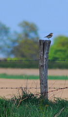 Wheatear at its post (neil mp) Tags: wheatear oenantheoenanthe turdidae bird freston holbrook suffolk rspb spring springwatch post fence