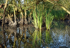 Early morning, Smawthorne Marsh (Camperman64) Tags: castleford smawthornemarsh oasis nature wildlife contrast smoggyswamps earlymorning spring sunlight primeval roots