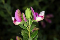 """ID'd as Polygala myrtifolia, """"Myrtle-leaf Milkwart"""" (HandsOff) Tags: unknown plant santacruzcalifornia polygala myrtifolia myrtleleafmilkwart southafricanorigin"""