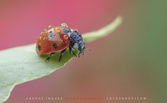 "Los coccinélidos (Mariquitas), son insectos pequeños, con un tamaño reducido que va de 5 a 8 milimetros. // The ladybird beetles (ladybugs) are small insects, with a reduced size from 5-8 millimeters. (ANDROS images) Tags: andros images photos fotos fotoandros ""androsphoto"" ""fotoandros"" lugares places ""sitiosespeciales"" ""franciscodomínguez"" interesante naturaleza ""naturalezaviva"" ""amoralanaturaleza"" ""imágenesdenuestromundo"" ""sólotenemosunatierra"" ""planetatierra"" ""amarlatierra"" ""cuidemoslatierra"" luz color tonos ""portierrasespañolas"" ""nuestro ""unahermosatierra"" ""reflejosdeluz"" pasión viviendo ""pasiónporlafotografía"" miradas fotografías ""atravésdelobjetivo"" ""elmundoenimágenes"" pictures androsphoto photoandrosplaces placesspecialsites interesting differentnaturelivingnature loveofnature imagesofourworld weonlyhaveoneearthplanetearth foracleanworldlovetheearth carefortheearth light colortones onspanishterritoryourworld abeautifulearth lightreflection ""living passionforphotographylooks photographs throughthelens theworldinpicturesnikon ""nikon7000"" grupodemontañairis androsimages franciscodomínguezrodriguez mariquita insectos"
