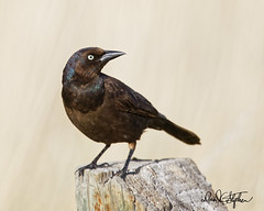 Immature Common Grackle (dcstep) Tags: englewood colorado unitedstates us n7a5505dxo cherrycreekstatepark blackbird commongrackle grackle allrightsreserved copyright2017davidcstephens dxoopticspro114 nature urban urbannature pixelpeeper iridescence ecoregistrationcase15586202651