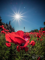Gentil coquelicot (Olympus Passion eric leroy) Tags: coquelicot zuiko 8mm fisheye olympus omd em1 mkii