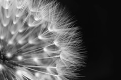 Dandy... (Catherine Cochrane) Tags: texture naturallight light monochrome mono macro flower weed abstract