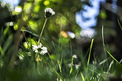 in the garden (ΞSSΞ®®Ξ) Tags: ξssξ®®ξ pentax k5 angle 2017 bokeh green depthoffield grass plant garden blooming outdoor kepcorautowideanglemc28mm128 flower daysies spring leucanthemumvulgare perspective