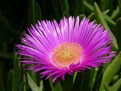 Carpobrotus acinaciformis (JMVerco) Tags: fleur flower fiore coth coth5 flickrchallengegroup