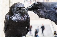 Tower Raven 1 (Rob A Dickinson) Tags: nikon d7100 sigma2470f28 london toweroflondon raven bird black corvid