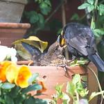 Blackbird feading chick thumbnail