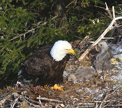Waiting for dinner - May 18 (wespfoto) Tags: eagle eaglets nest aerie tree may newfoundland canada stjohns northheadtrail signalhill cuckoldscove quidividi