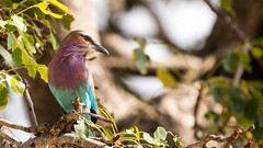 Lilac-breasted Roller (nealhardwick) Tags: coraciascaudatus lilacbreastedroller krugerpark mpumalanga southafrica