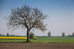 Solitude (Infomastern) Tags: raps countryside field fält gul landsbygd landscape landskap rapeseed seed tree träd yellow exif:focallength=120mm geocountry camera:make=canon exif:isospeed=100 camera:model=canoneos760d geostate geocity geolocation exif:lens=efs18200mmf3556is exif:model=canoneos760d exif:aperture=ƒ80 exif:make=canon