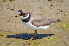 Semi-palmated Plover (tresed47) Tags: 2017 201705may 20170517snewjerseybirds birds canon7d content folder newjersey peterscamera petersphotos places plover semipalmatedplover shorebirds takenby us wetlandsinstitute ngc