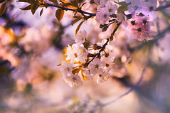 touch of spring (eggii) Tags: blooms spring project soft pastel light bokeh pink