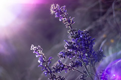 Mountain violet (Mattia Ferraboli) Tags: old oldlens primelens prime vintage vintagelens canon canon70d manual manuallens manualfocus bokeh flare carl zeiss jena carlzeissjena carlzeiss carlzeissjenapancolar carlzeissjenapancolar50mmf18 pancolar50mm18 pancolar50mmf18 pancolar50mm 50mm f18 m42 m42mount dof deepoffield deep field flower flowers leaves leaf violet purple light lights highlights closeup openair wideopen dreamy sunset goldenhour dusk bright