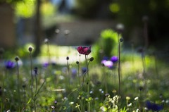 Anemone meadow (ΞSSΞ®®Ξ) Tags: ξssξ®®ξ pentax k5 colors bokeh smcpentaxm50mmf17 italy spring 2017 plant outdoor depthoffield anemone blossom purple green light fabriano appennini nature flowers meadow focus marche