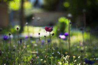 Anemone meadow