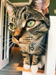 Green eyed boy (jasminefisher1) Tags: catmoments bengal tabby pet animal fury green eyes cute cat kitten