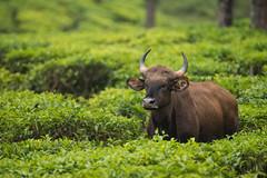 indian gaur (AnilVarma) Tags: indiangaur indian gaur tea estate teaestate nature animal wildlife tress valparai tamilnadu india nikon nikkor500mm 500mm d800e
