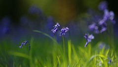 A Patch of Blue (sneaky winey) Tags: woodland english british leaves perfume sweet bell shape pollen